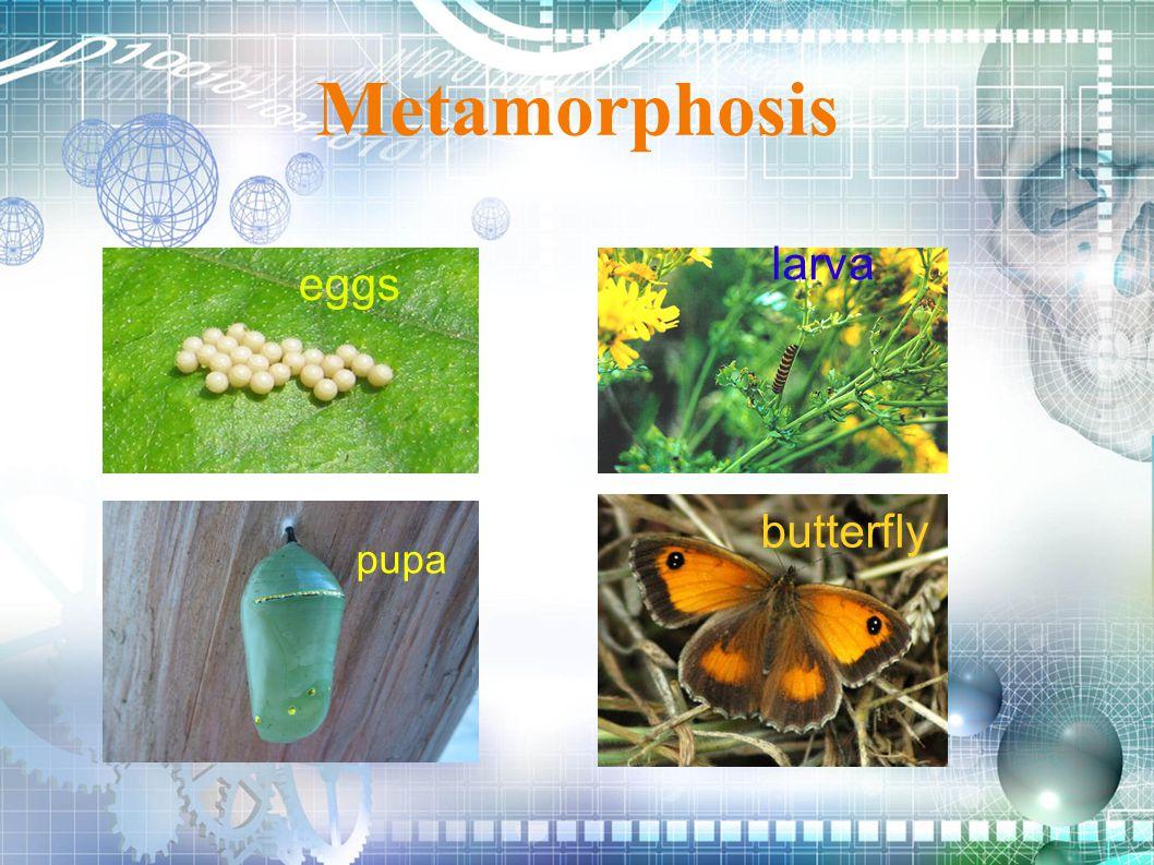 Metamorphosis eggs larva butterfly pupa