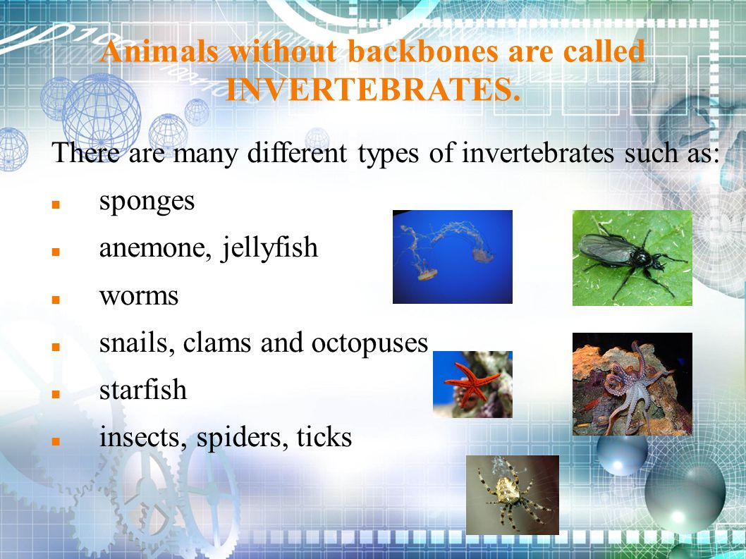 Animals without backbones are called INVERTEBRATES. There are many different types of invertebrates such as: sponges anemone, jellyfish worms snails,
