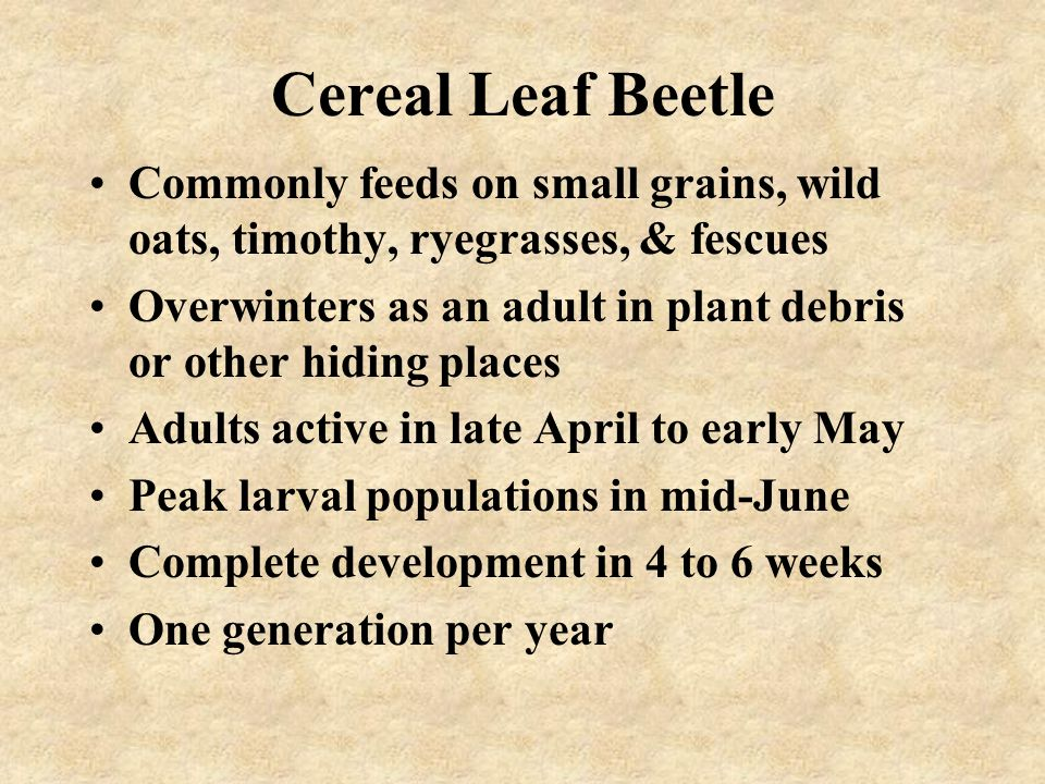 Cereal Leaf Beetle Commonly feeds on small grains, wild oats, timothy, ryegrasses, & fescues Overwinters as an adult in plant debris or other hiding p