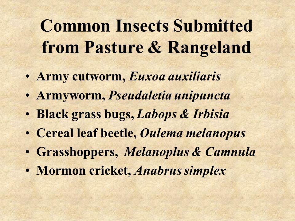 Cereal Leaf Beetle Larva