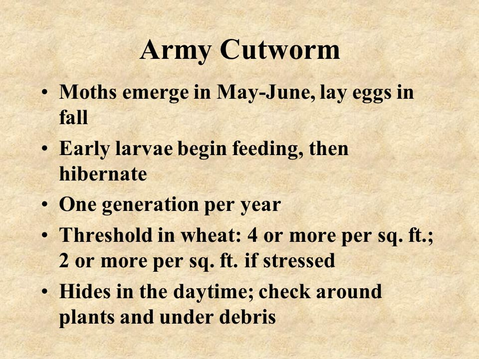 Army Cutworm Moths emerge in May-June, lay eggs in fall Early larvae begin feeding, then hibernate One generation per year Threshold in wheat: 4 or mo