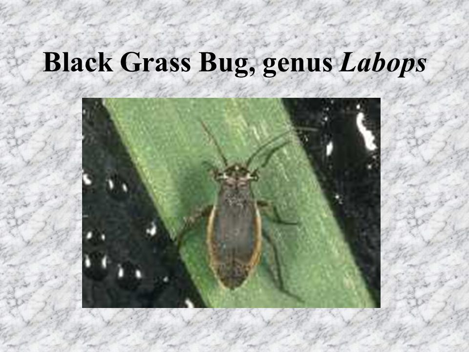 Black Grass Bug Mostly a problem in grasses, sometimes in grain Wheatgrasses among preferred hosts Overwinter as eggs in grass stems Nymphs hatch at snow melt/grass growth Development requires 4 to 5 weeks Adults mate, lay eggs, and die within about 4 weeks of maturation