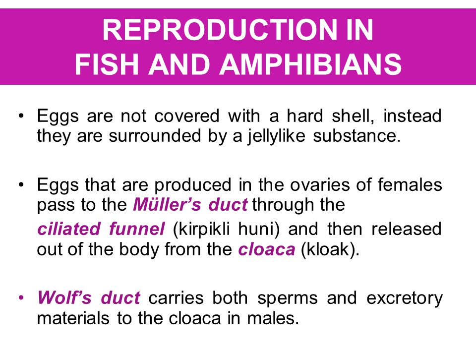 REPRODUCTION IN FISH AND AMPHIBIANS Eggs are not covered with a hard shell, instead they are surrounded by a jellylike substance. Eggs that are produc