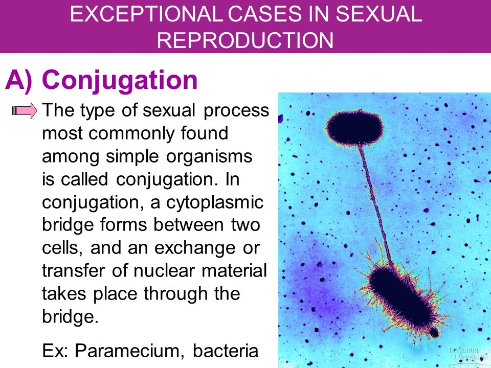 A) Conjugation The type of sexual process most commonly found among simple organisms is called conjugation. In conjugation, a cytoplasmic bridge forms