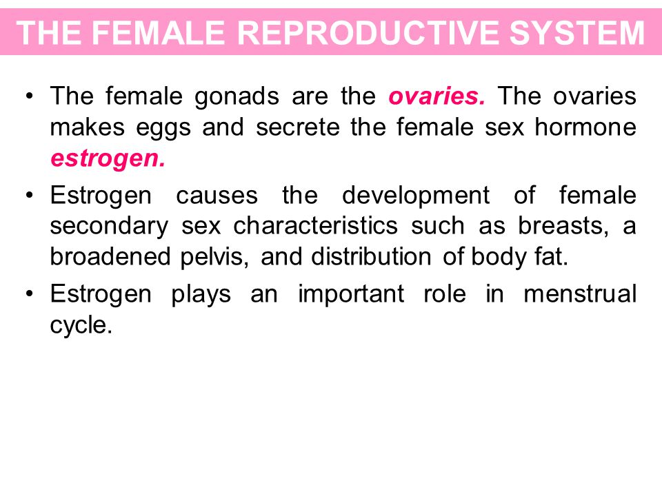 THE FEMALE REPRODUCTIVE SYSTEM The female gonads are the ovaries. The ovaries makes eggs and secrete the female sex hormone estrogen. Estrogen causes