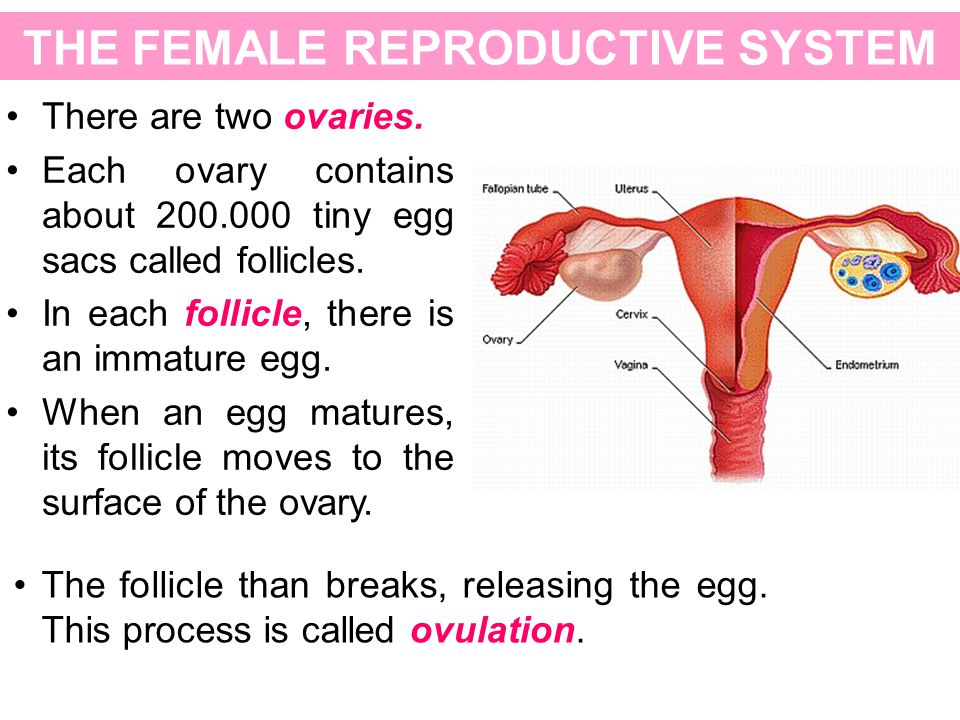 THE FEMALE REPRODUCTIVE SYSTEM There are two ovaries. Each ovary contains about 200.000 tiny egg sacs called follicles. In each follicle, there is an