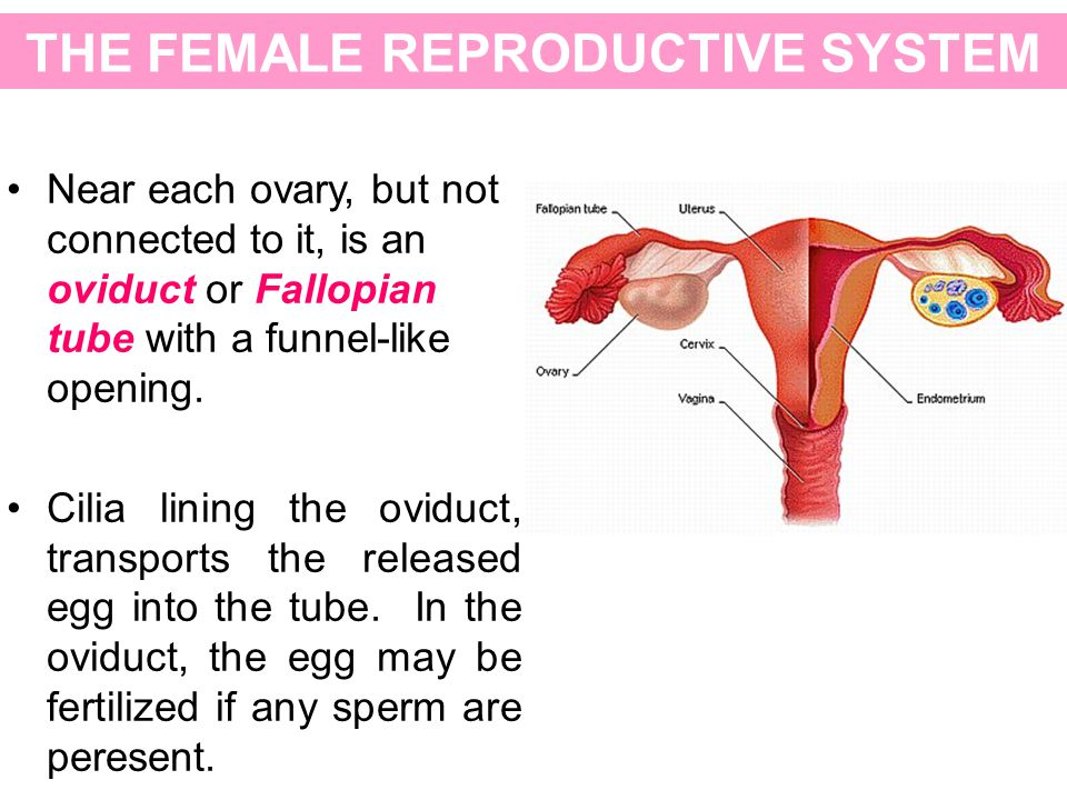 THE FEMALE REPRODUCTIVE SYSTEM Near each ovary, but not connected to it, is an oviduct or Fallopian tube with a funnel-like opening. Cilia lining the