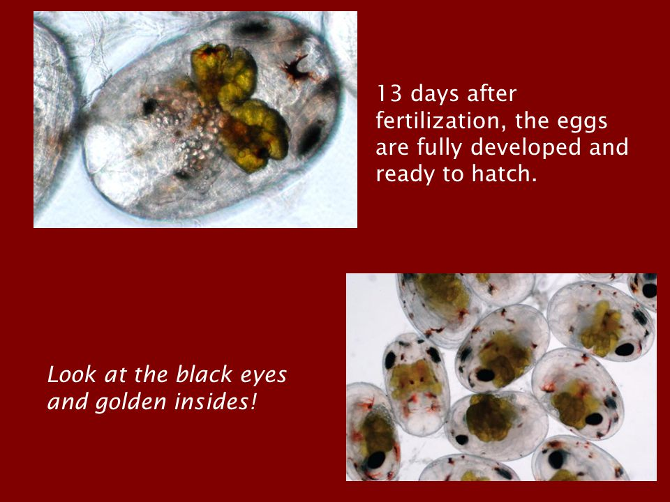 13 days after fertilization, the eggs are fully developed and ready to hatch. Look at the black eyes and golden insides!