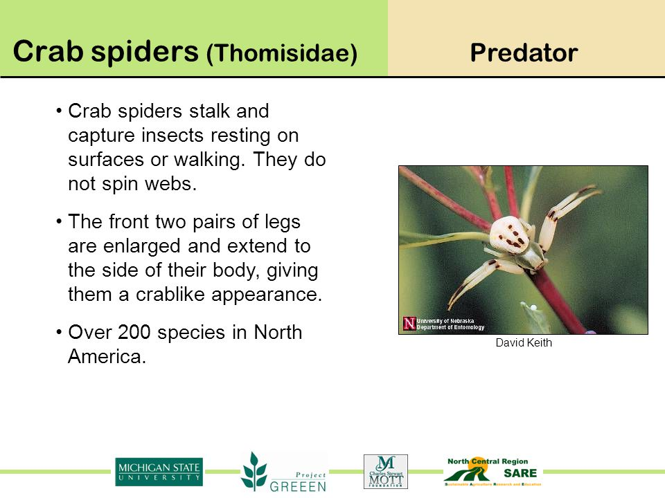 David Keith Crab spiders stalk and capture insects resting on surfaces or walking. They do not spin webs. The front two pairs of legs are enlarged and