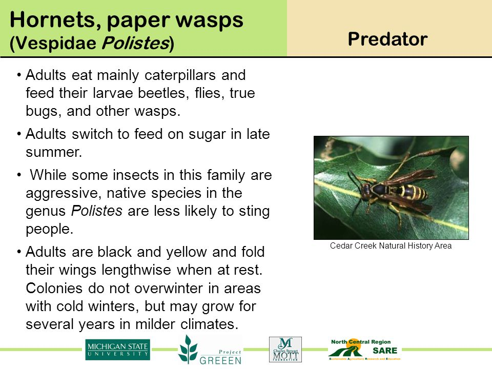 Cedar Creek Natural History Area Adults eat mainly caterpillars and feed their larvae beetles, flies, true bugs, and other wasps. Adults switch to fee