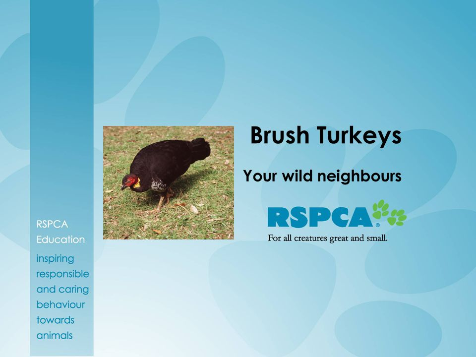 For More Information For more advice on living with Brush Turkeys in Queensland contact the EPA via their website, www.epa.qld.gov.au If you are concerned about the welfare of a brush turkey contact the RSPCA on 1300 ANIMAL.