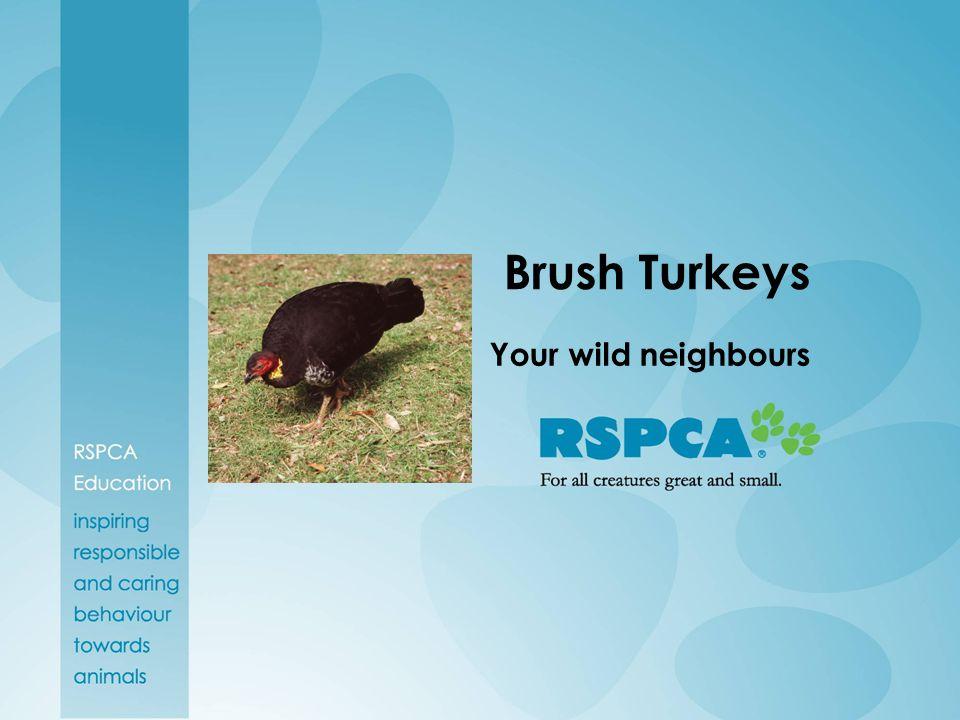 Brush Turkeys Your wild neighbours