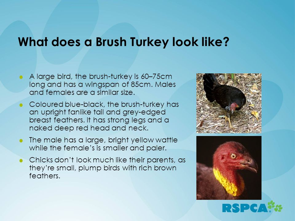 What does a Brush Turkey look like? A large bird, the brush-turkey is 60–75cm long and has a wingspan of 85cm. Males and females are a similar size. C