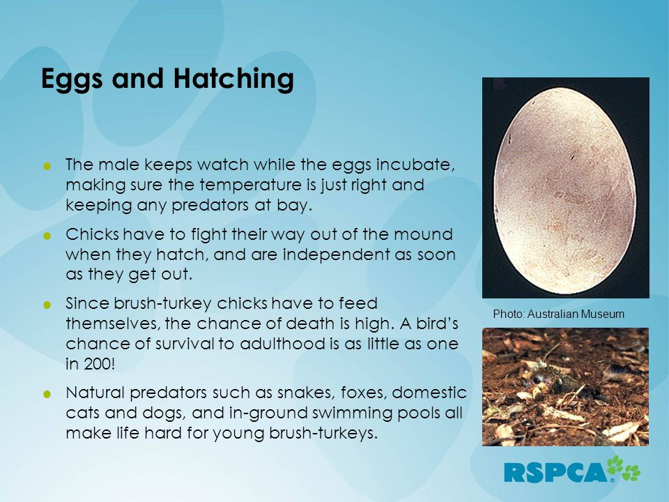 Eggs and Hatching The male keeps watch while the eggs incubate, making sure the temperature is just right and keeping any predators at bay. Chicks hav