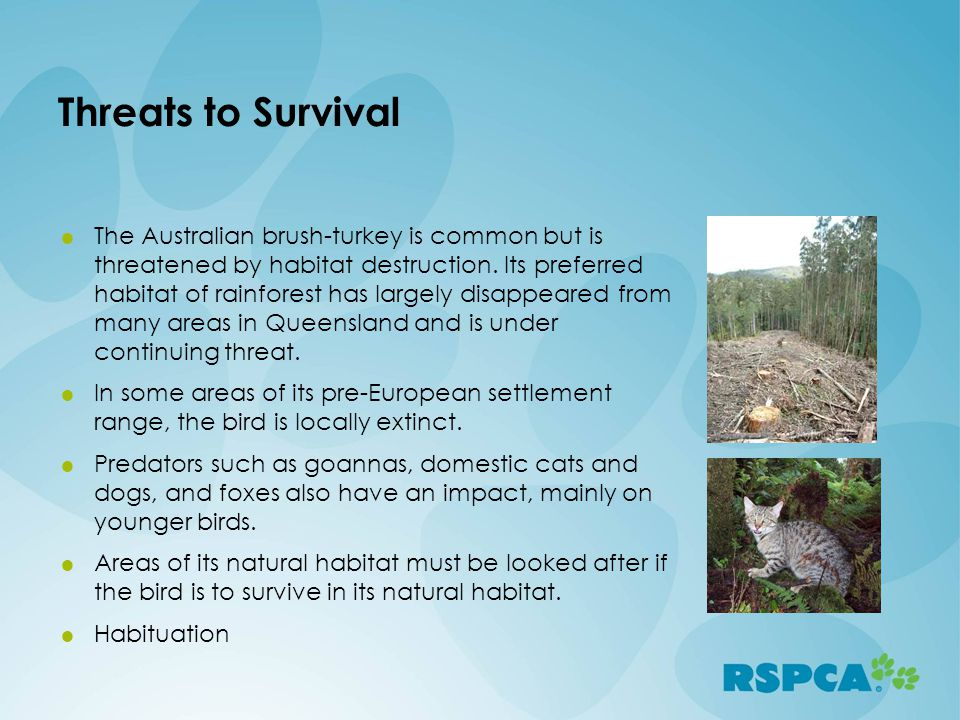 Threats to Survival The Australian brush-turkey is common but is threatened by habitat destruction. Its preferred habitat of rainforest has largely di
