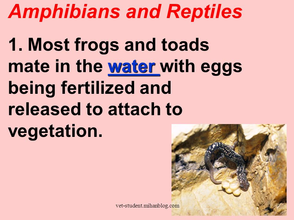 b.Ovoviviparous snakes retain eggs in their body until they are hatched in 90 – 150 days.