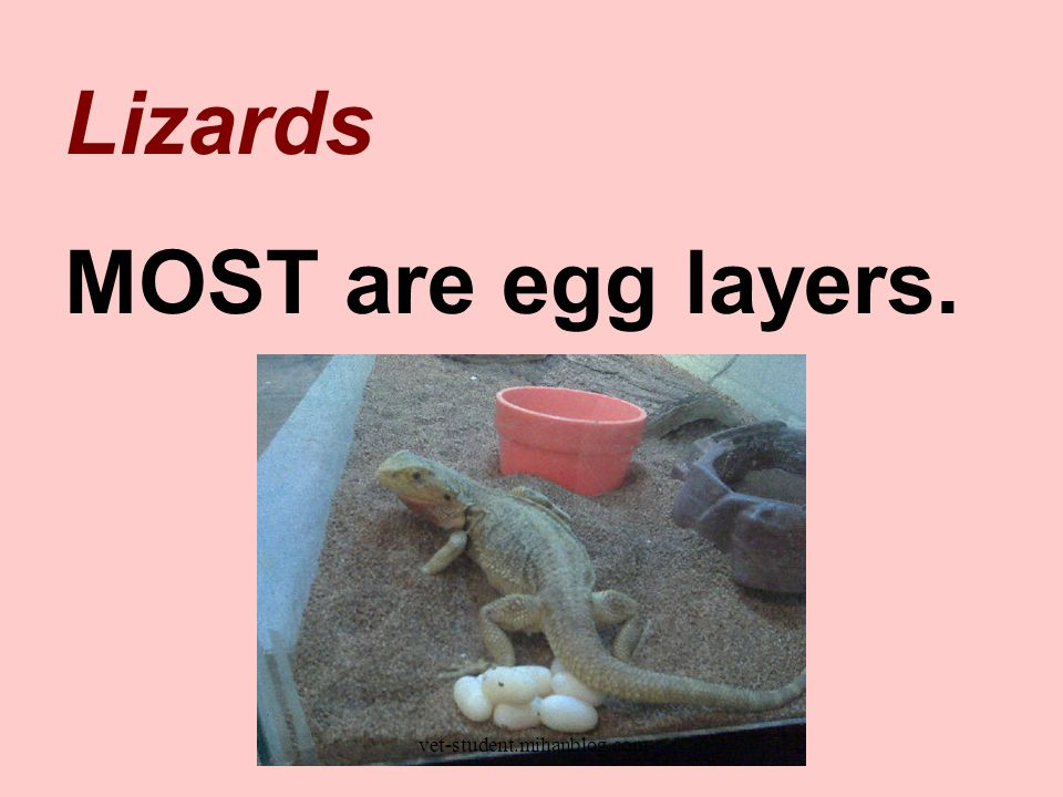 Lizards MOST are egg layers. vet-student.mihanblog.com