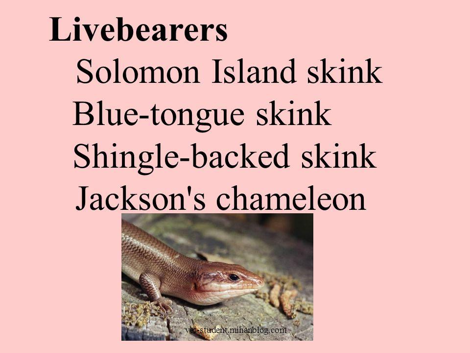 Livebearers Solomon Island skink Blue-tongue skink Shingle-backed skink Jackson's chameleon vet-student.mihanblog.com