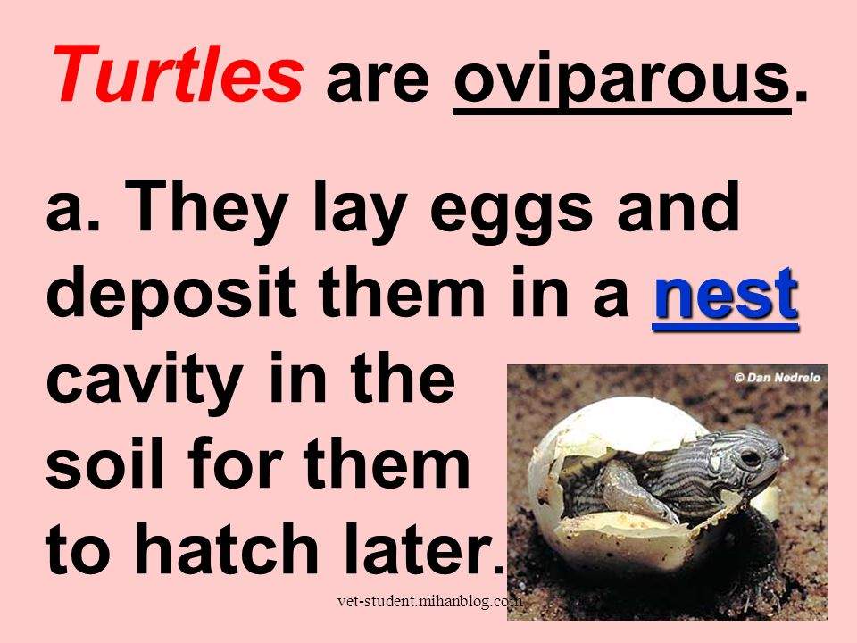 Turtles are oviparous. nest a. They lay eggs and deposit them in a nest cavity in the soil for them to hatch later. vet-student.mihanblog.com