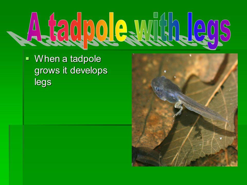 When a tadpole grows it develops legs When a tadpole grows it develops legs