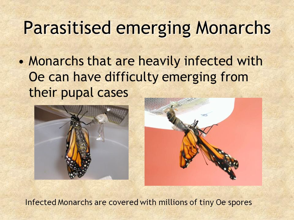 Parasitised emerging Monarchs Monarchs that are heavily infected with Oe can have difficulty emerging from their pupal cases Infected Monarchs are cov