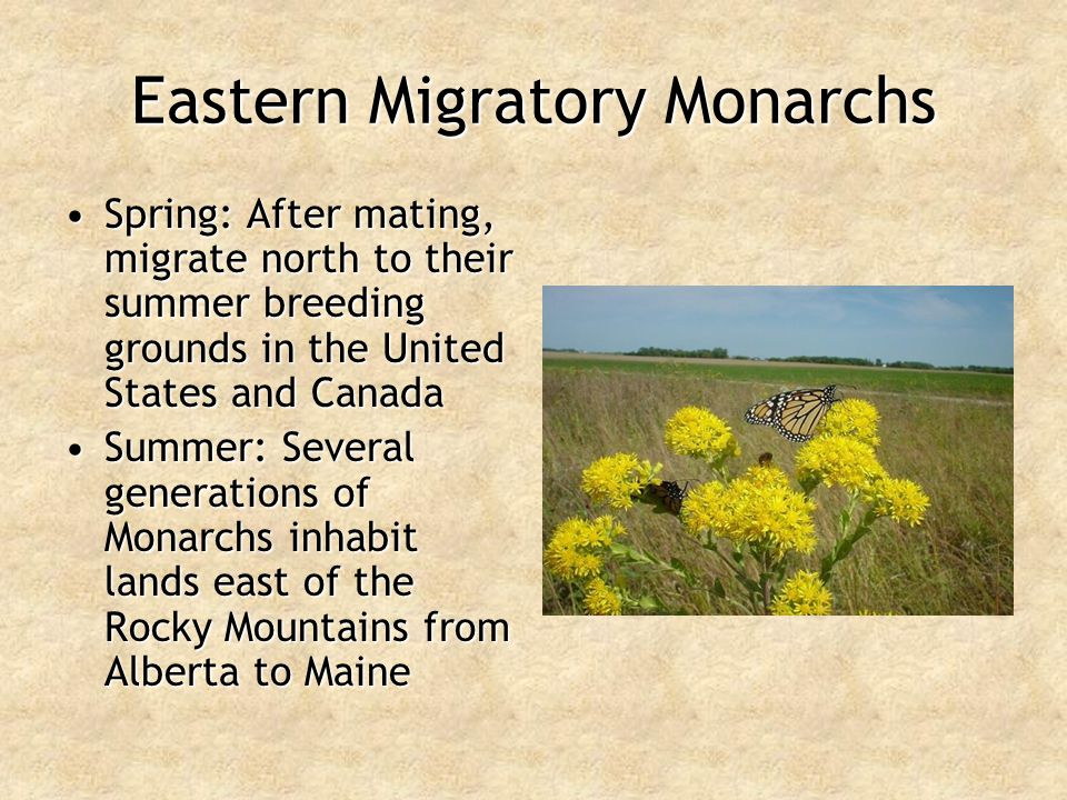 Eastern Migratory Monarchs Spring: After mating, migrate north to their summer breeding grounds in the United States and CanadaSpring: After mating, m