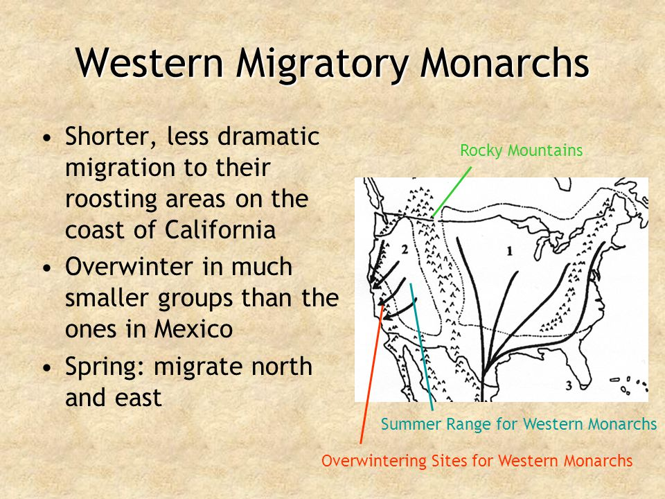 Western Migratory Monarchs Shorter, less dramatic migration to their roosting areas on the coast of California Overwinter in much smaller groups than
