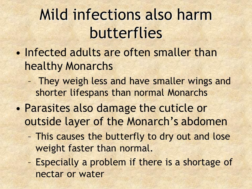 Mild infections also harm butterflies Infected adults are often smaller than healthy Monarchs – They weigh less and have smaller wings and shorter lif