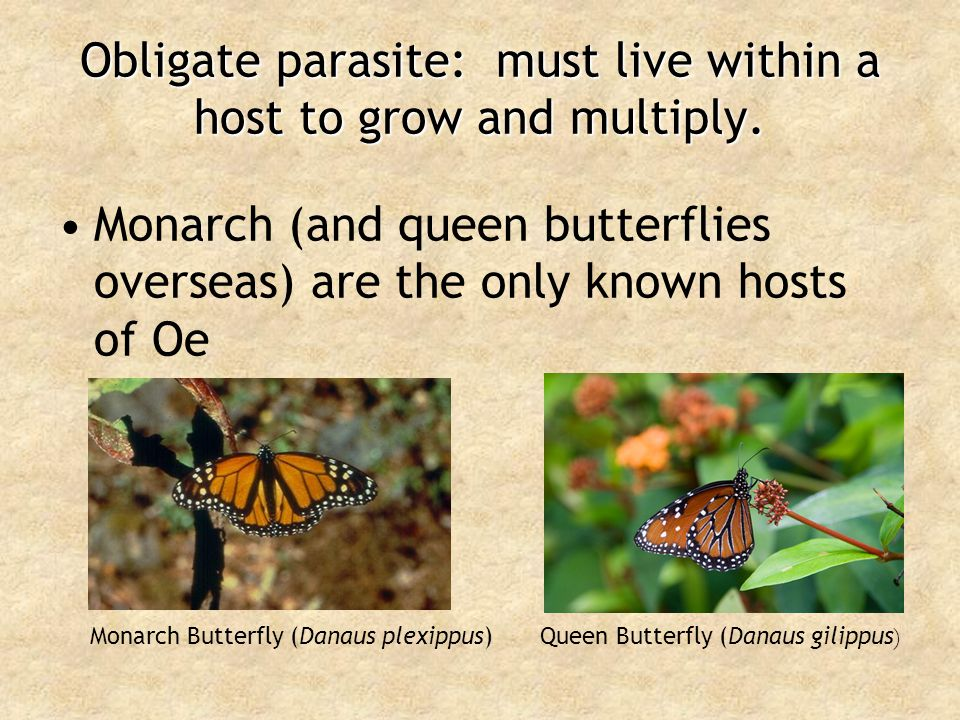 Oe produces spores on the outside of Monarchs Spores: dormant cells that can resist harsh environmental conditionsSpores: dormant cells that can resist harsh environmental conditions Found on the outside of infected MonarchsFound on the outside of infected Monarchs Monarch scales Oe spores Highly Magnified Image