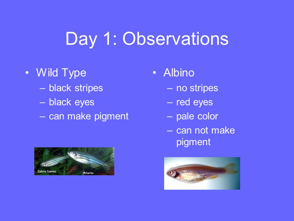 Day 1: Observations Wild Type –black stripes –black eyes –can make pigment Albino –no stripes –red eyes –pale color –can not make pigment
