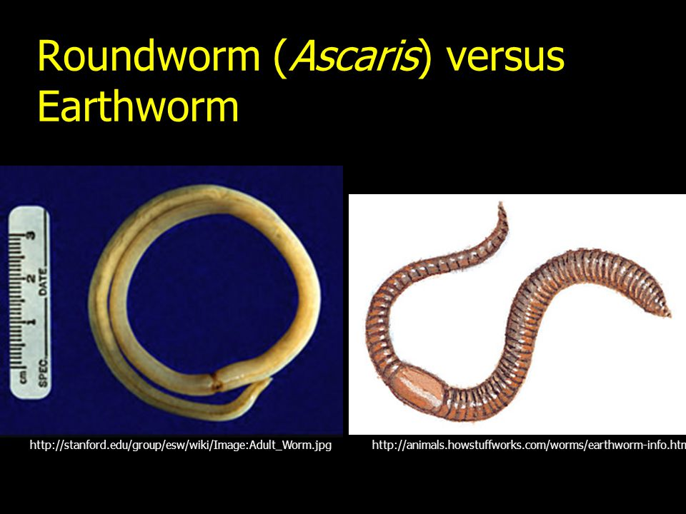 Roundworm (Ascaris) versus Earthworm http://animals.howstuffworks.com/worms/earthworm-info.htmhttp://stanford.edu/group/esw/wiki/Image:Adult_Worm.jpg