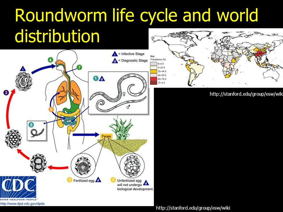 Roundworm life cycle and world distribution http://stanford.edu/group/esw/wiki