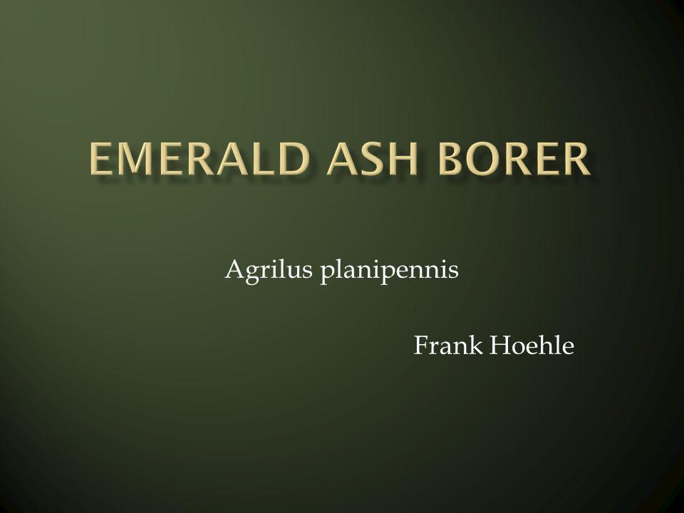 Agrilus planipennis Frank Hoehle