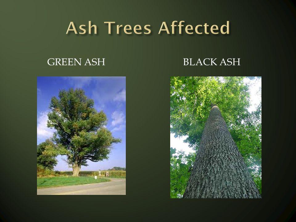 GREEN ASH BLACK ASH