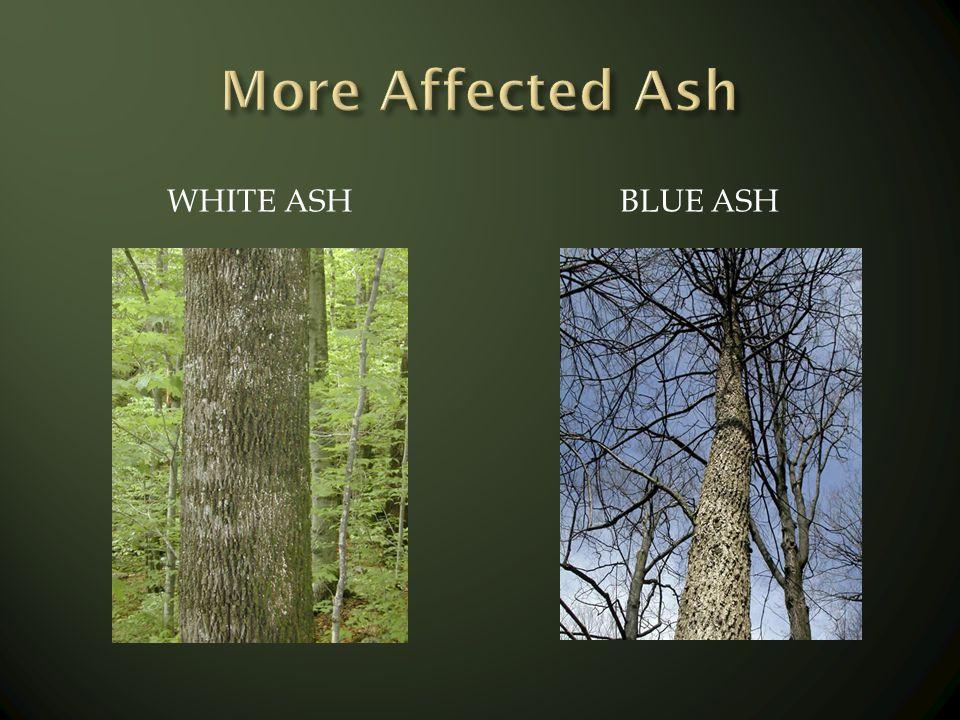 WHITE ASHBLUE ASH