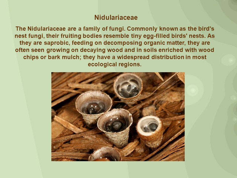 Bird s nest fungi were first mentioned by Flemish botanist Carolus Clusius in Rariorum plantarum historia (1601).