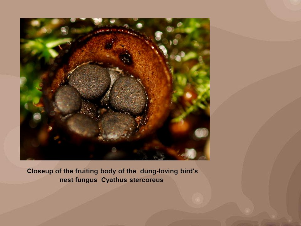 Closeup of the fruiting body of the dung-loving bird's nest fungus Cyathus stercoreus