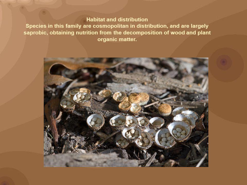 Bird s nest fungi, Crucibulum laeve