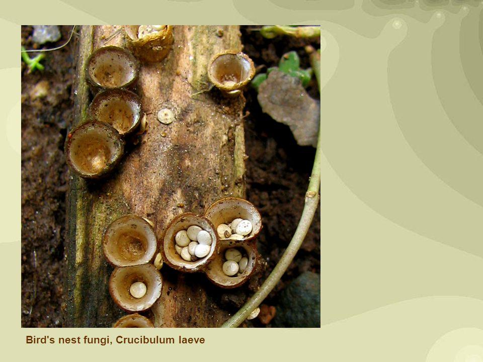 Bird s-nest fungus (Cyathus olla).