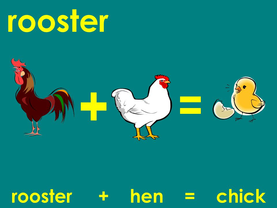 rooster rooster + hen = chick