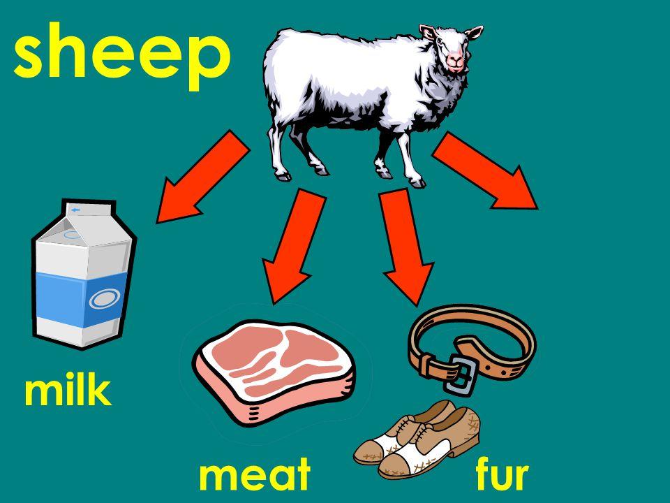 sheep milk meatfur