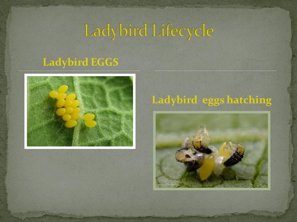 Ladybird EGGS Ladybird eggs hatching