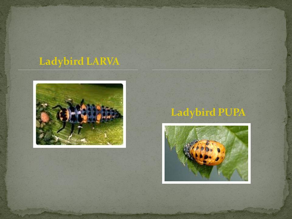 Ladybird LARVA Ladybird PUPA