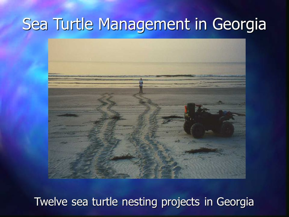 Sea Turtle Management in Georgia Twelve sea turtle nesting projects in Georgia