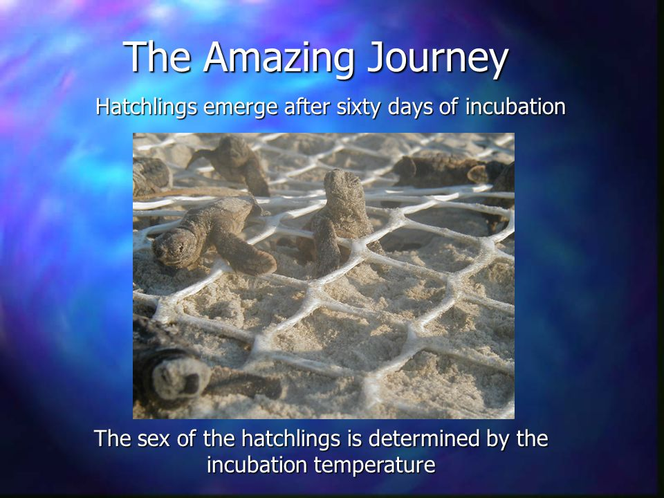 The Amazing Journey Hatchlings emerge after sixty days of incubation The sex of the hatchlings is determined by the incubation temperature