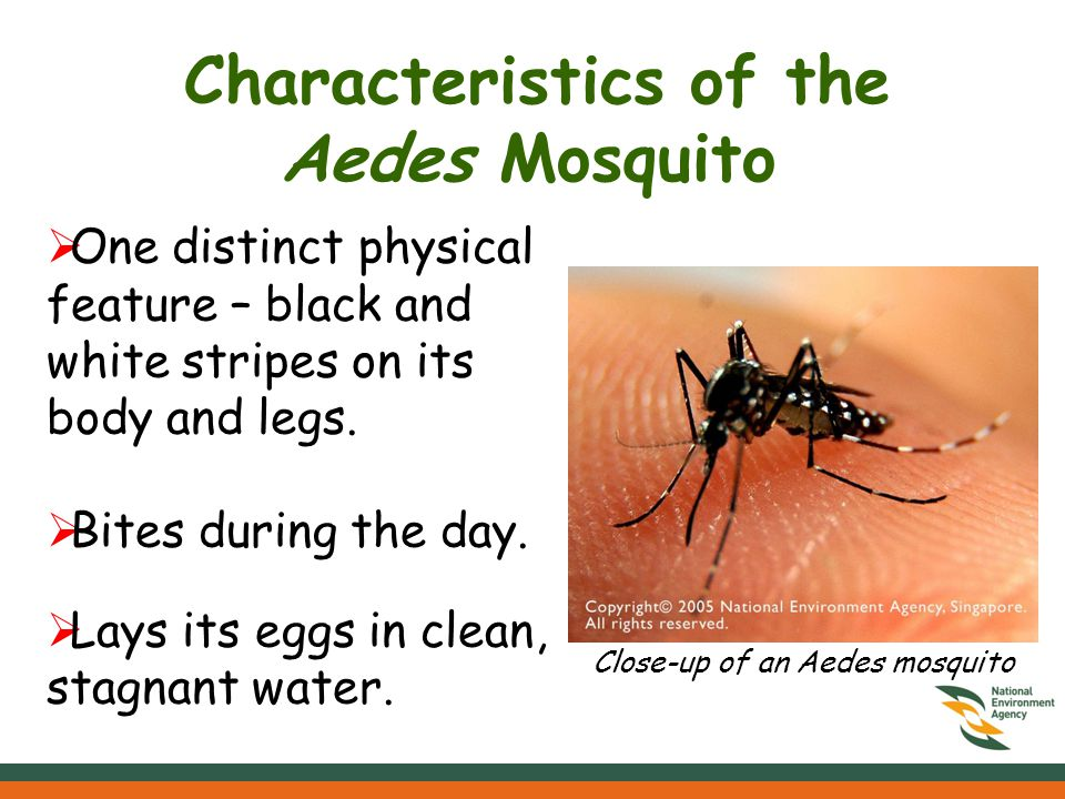 Characteristics of the Aedes Mosquito One distinct physical feature – black and white stripes on its body and legs.