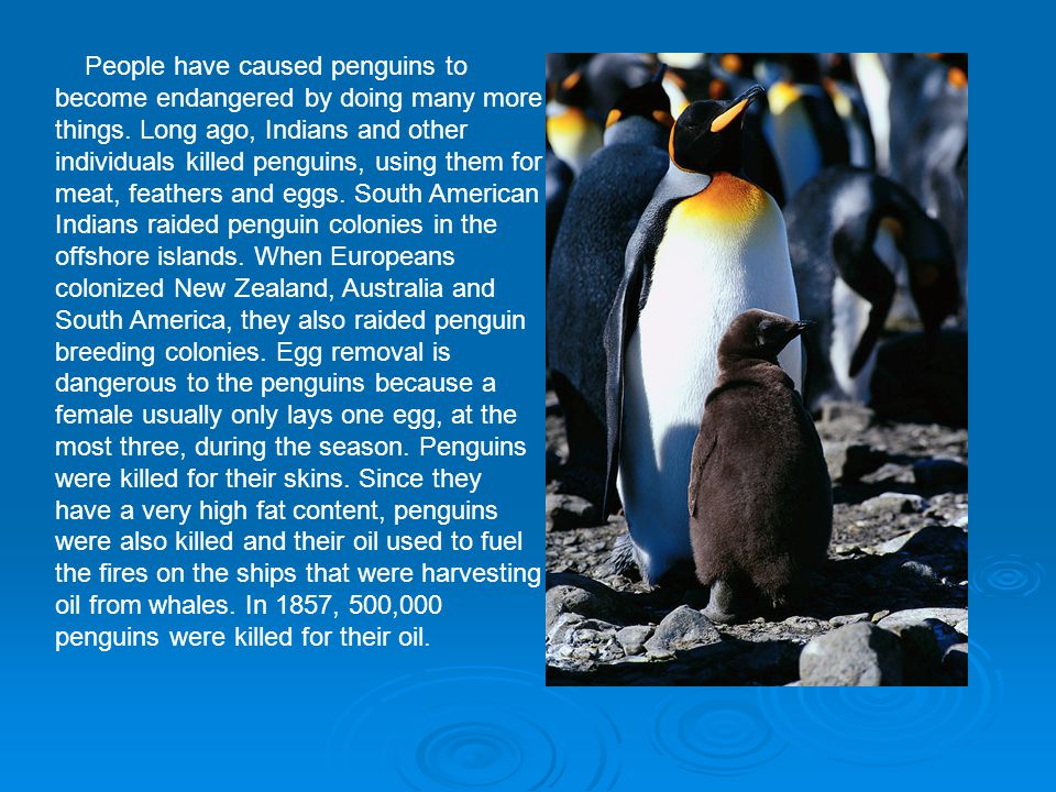People have caused penguins to become endangered by doing many more things. Long ago, Indians and other individuals killed penguins, using them for me