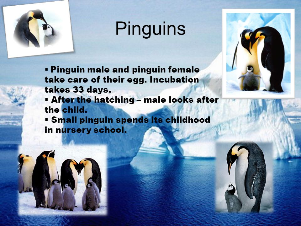 Pinguins Pinguin male and pinguin female take care of their egg. Incubation takes 33 days. After the hatching – male looks after the child. Small ping