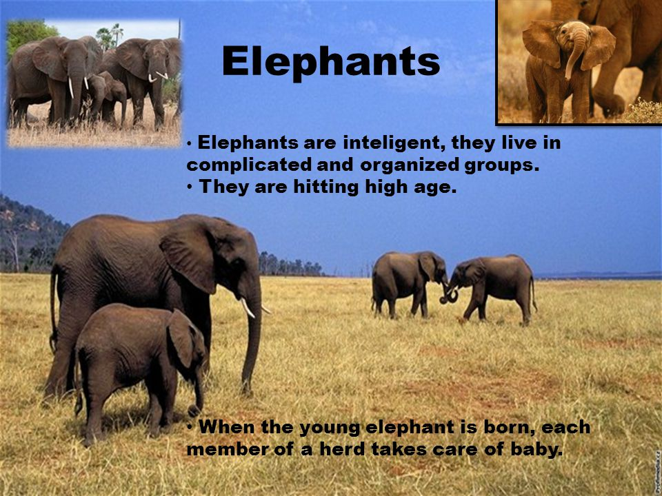 Elephants Elephants are inteligent, they live in complicated and organized groups. They are hitting high age. When the young elephant is born, each me