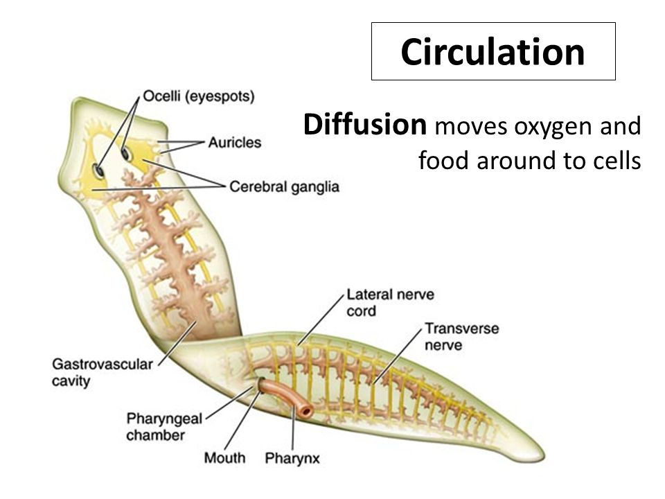 Circulation Diffusion moves oxygen and food around to cells